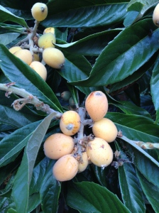 Bunch of Loquats