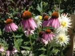 Echinacea & Dahlias